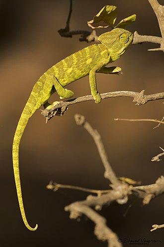 Indian chameleon - Indian chameleon at Gir Wildlife Sanctuary, Gujarat