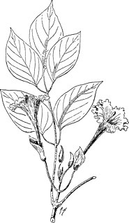 <i>Dolichandrone spathacea</i> Species of flowering plant