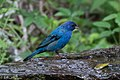 Indigo Bunting (male) Fall Out 2 Sabine Woods TX 2018-04-09 14-18-07 (40795017764).jpg