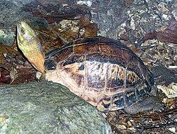 Indo-Chinese.box.turtle.arp.jpg