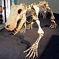 Inostrancevia skeleton.jpg