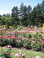 International Rose Test Garden, Oregon (2013) - 4.jpeg