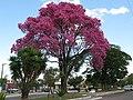 Ipê rosa Av.Dr.Mario Luiz Paullucy - Jardim jaragua Taubaté - panoramio.jpg