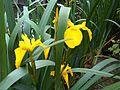 Iris pseudacorus W64.jpg