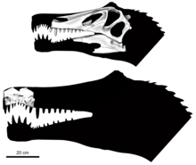 Head silhouettes of Irritator and Angaturama with respective skull bones overlaid onto them, the Angaturama specimen is larger and overlaps with that of Irritator by one tooth