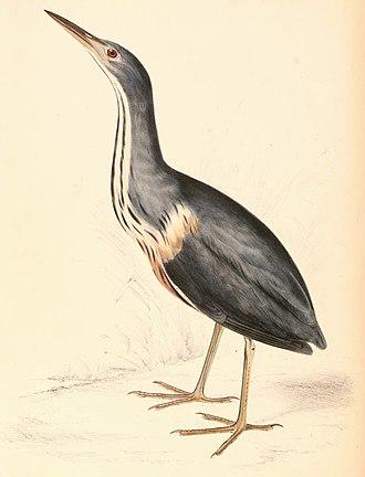 Dwarf bittern - Image: Ixobrychus sturmii 1838