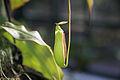 JBRJ - Nepenthes - Néctar dos Deuses.jpg