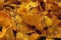 Jack-o'-Lantern Mushroom - Omphalotus olearius (43880788084).jpg