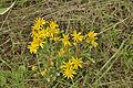 Jacobaea vulgaris subsp. vulgaris, Jakobskruiskruid.jpg