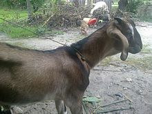 Rather mature intacted male goat you will