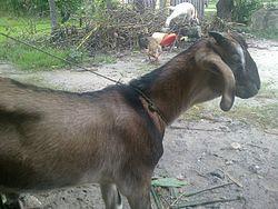 Kambing Etawa Jamnapari Madani Farm