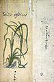 Japanese Herbal, 17th century Wellcome L0030079.jpg