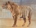 Java Tiger (colored).png