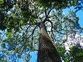 Jequitibá-rosa no Parque Estadual Nova Baden.jpg