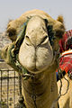Jerusalem- friendly camel (3160131067).jpg