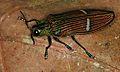 Jewel Beetle (Catoxantha opulenta) (8741702752).jpg