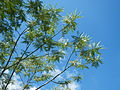 JfSesbaniagrandiflora185Palinglangfvf.JPG