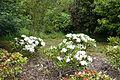 John McLaren Memorial Rhododendron Dell - Golden Gate Park, San Francisco, CA - DSC05374.JPG