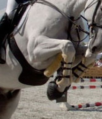 Girth (tack) - This horse has a belly guard, to protect himself from hitting his belly with his front feet while folding over a fence.