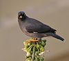 Jungle Myna (Acridotheres fuscus) on Kapok (Ceiba pentandra) in Kolkata W IMG 3960.jpg