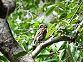 Jungle Owlet - Glaucidium radiatum DSC02794.jpg