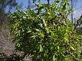Juniperus navicularis (detail).JPG