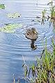 Juvenile Yellow-billed Duck Swimming.jpg