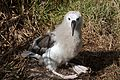 Juvenile Yellow-nosed albatross.jpg
