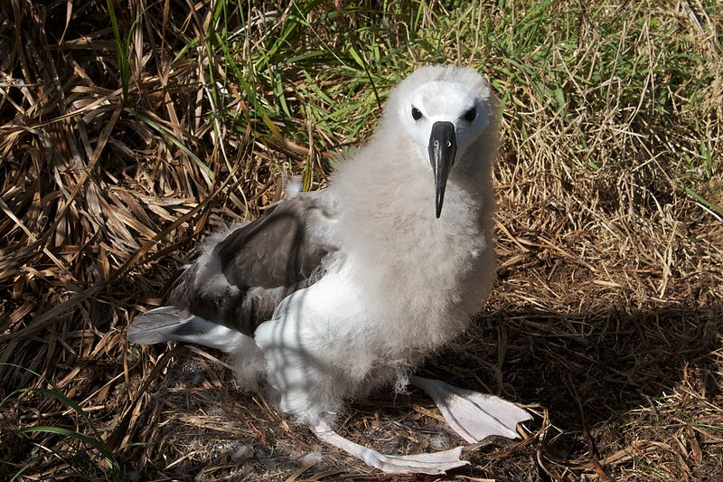 File:Juvenile Yellow-nosed albatross.jpg