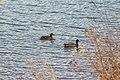 Kaczki na jeziorze. - panoramio.jpg