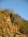 Kaktusfeige an der Steilküste.JPG