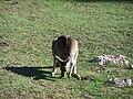 Kangaroo at Jerusalem Biblical Zoo2.JPG