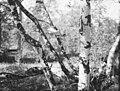 Karhun kallo roikkuu puunoksassa, Vuoskujärvi.jpg