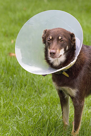 Elizabethan collar - An Australian Kelpie wearing an Elizabethan collar in order to help an eye infection to heal.