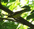 Kentucky Warbler (14505854929).jpg