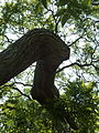 Kew Gardens Pagoda Tree P1170594.JPG