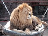 Kharkiv Zoo king lion.JPG