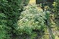 Kluse - Oxalis tuberosa 11 ies.jpg