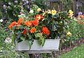 Knollenbegonien (Begonia × tuberhybrida) (9512977109).jpg