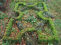 Knooptuin met Teucrium chamaedrys subsp. germanicum en Buxus sempervirens.jpg