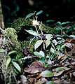 Koellensteinia carraoensis - habitat.jpg