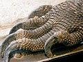 Komodo Dragon Paw (2813286522).jpg