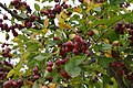 Korea-Andong-Hahoe Folk Village-Fruit tree-01.jpg