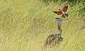 Kori Bustard (Ardeotis kori) and Southern Carmine Bee-eater (Merops nubicoides) (6021439753).jpg