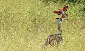 Southern carmine bee-eater - Image: Kori Bustard (Ardeotis kori) and Southern Carmine Bee eater (Merops nubicoides) (6021439753)