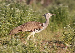 Kori bustard, Ardeotis kori, at Mapungubwe National Park, Limpopo, South Africa (17946598529).jpg
