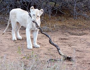 White lion - An adolescent lion in Kruger National Park, South Africa