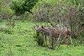 Kruger Park, Nyalas - panoramio.jpg