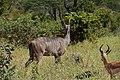 Kudu, Ruaha National Park (10) (29023484885).jpg