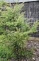 Kunzea robusta in Auckland Botanic Gardens 02.jpg
